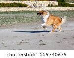 Rough Collie  Dog  Is Running...