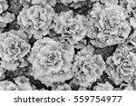 lettuce field | Shutterstock . vector #559754977