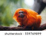 Lion Tamarin  Or Rosalie. He...