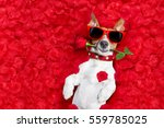 Stock photo jack russell dog lying in bed full of red flower petals as background in love on valentines day 559785025