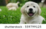 Stock photo puppies golden retriever breed with pedigree playing running they roll in the grass in slow motion 559799125