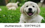 Puppies Golden Retriever Breed...