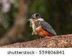 ringed kingfisher with prey... | Shutterstock . vector #559806841