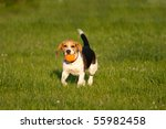 Happy Beagle Dog Plays With A...