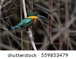 Small photo of Close up of an American pygmy kingfisher, Pantanal, Brazil