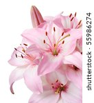 Bouquet Of Fresh Pink Lilies...