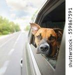 A Boxer Pit Bull Mix Dog Ridin...