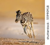 Close Up Of A Young Zebra...