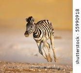 Stock photo close up of a young zebra running on rocky plains of etosha 55990918