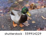 Male Mallard Duck Stands Next...