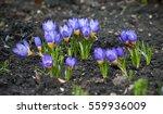 Purple Crocus Growing Outside...