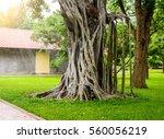 Big Banyan Tree In The Garden