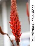 Small photo of Aloe arborescens, Krantz aloe, Candelabra aloe, tree like multheaded succulent with bluish green leaves with spiny edges and orange red tubular flowers in compact racemes.