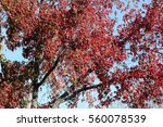 Small photo of Autumn colors of Liquidambar styraciflua, American Sweet Gum, the lobed leaves turning bright orange red in autumn, before falling, fruits globose with hard spikes.