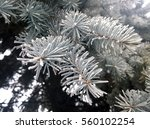 Small photo of Blue pine branches with the frozen snow and ice on tenterhooks