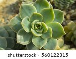 green cactus flower background  ... | Shutterstock . vector #560122315