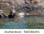 otter eating fish    Shutterstock . vector #560186341