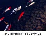 Carps  Fish Or Koi Swim In Pon...