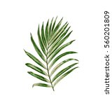 green leaves of palm tree on... | Shutterstock . vector #560201809