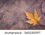 Single Yellow Maple Autumn Lea...