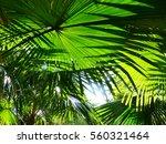 palm leaf of tree in sunlight...   Shutterstock . vector #560321464