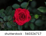 Red Rose On Green Branch