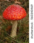 Small photo of fly amanita