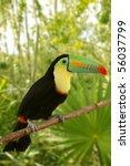 toucan kee billed tamphastos... | Shutterstock . vector #56037799