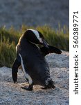 Small photo of African penguin preening