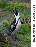 Small photo of African penguin calling