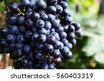 Black Grapes Grapes Harvest