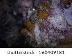 Profile Of A Painted Frog Fish