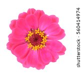 Zinnia Flower Isolate On White...