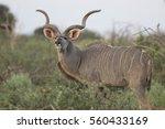 Portrait Of Male Greater Kudu...