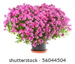 Potted Magenta Chrysanthemums...