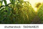 corn field in sunset | Shutterstock . vector #560464825