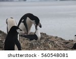 mating chinstrap penguins at... | Shutterstock . vector #560548081