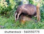 european badger  meles meles ... | Shutterstock . vector #560550775
