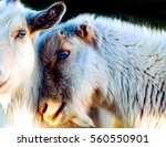 loves hit goat animals a large... | Shutterstock . vector #560550901