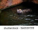 hyena swims in water. | Shutterstock . vector #560559799