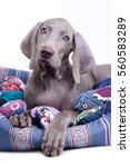 Weimaraner Puppy Lying In Couch