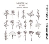 hand drawn medical herbs... | Shutterstock .eps vector #560583811