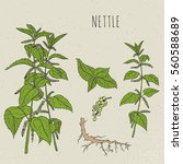 nettle medical botanical... | Shutterstock .eps vector #560588689