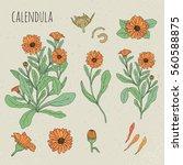 calendula medical botanical... | Shutterstock .eps vector #560588875