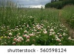 A Meadow Of Clover With Storm...
