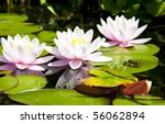 A Water Lily Bloom With A Frog