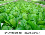 Green Cos Lettuce In The...