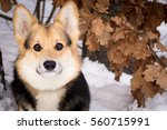 dog belongs to the breed of... | Shutterstock . vector #560715991