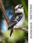 Kookaburra On The Branch ...