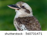 Portrait Of Laughing Kookaburra